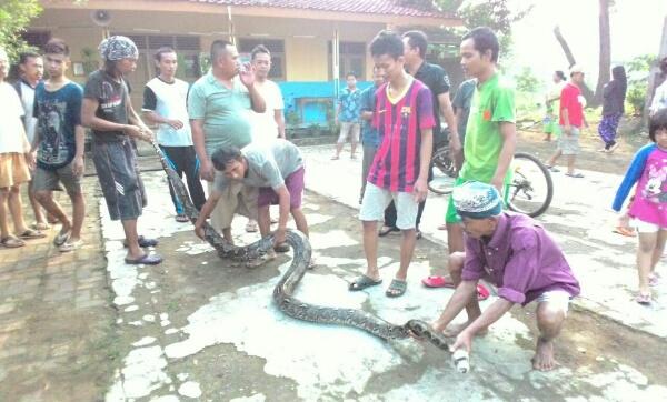 Warga berhasil mengamankan ular Sanca yang mendiami plafon sekolah PGRI Setu.[IDH]