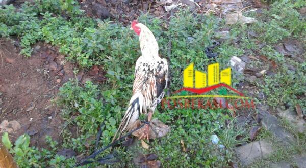 Barang bukti ayam.[SOF]