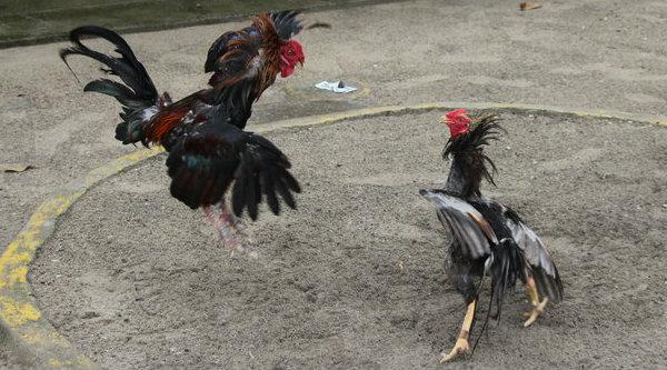 Sabung Ayam.[DOK]