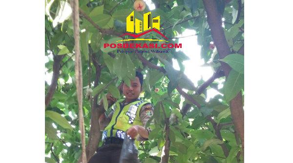 Bripka Dede Sulaeman saat memetik jambu di atas pohon.[IMA]