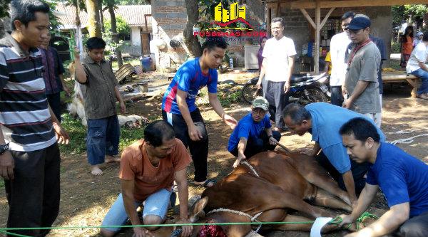 Penyembelihan sapi kurban keluarga besar jamaah Ponpes Al Marhamah.[RAD]