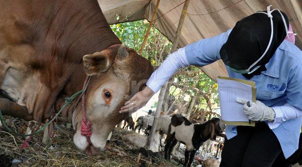 Pemeriksaan kesehatan hewan kurban.[DOK]