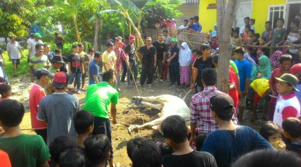 Penyembelihan sapi kurban di Masjid Jami Nurul Huda Kampung Tanah Tinggi, Kecamatan Tarumaja, Bekasi Utara, Kabupaten Bekasi.[FAQ]