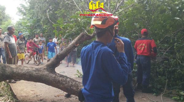 """Pohon Sentul """"kramat"""" yang tumbang menimpa korban Parno di Jalan Raya Desa Lubang Buaya, Sentu, Jumat 7 Oktober 2016.[BEN]"""