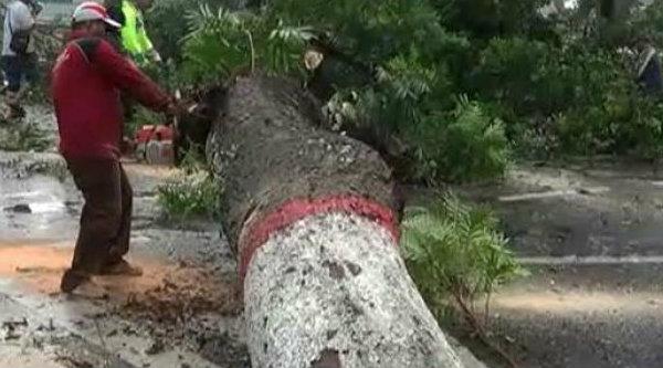 Tebang pohon.[IST]